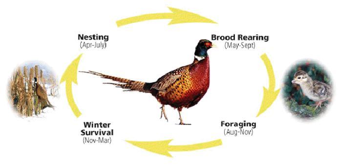 life cycle pheasants