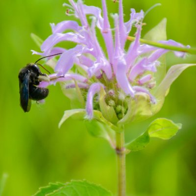 bees-love-wild-bergamot_35309769774_o
